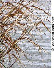 Reeds by the Lake - Reeds by the lake
