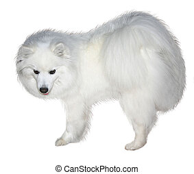 snow white - an American Eskimo Puppy