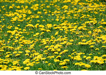Dandelion field - Field of blooming dandelions