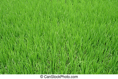 Green Grass - Beautiful green grass from a farmers field...