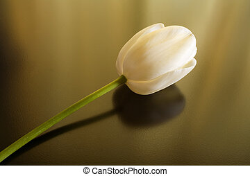 One White Tulip - Photo of a white tulip bloom shot fairly...