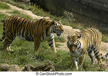 two tigers at dartmoor wildlife park uk