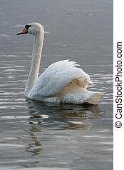 Swan - A swan in water
