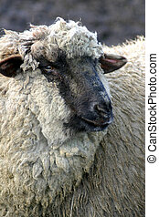 Black Face 4 - Black Face Sheep