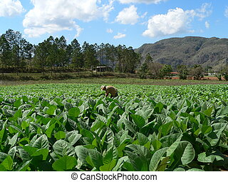 cubano, tabaco, campo