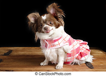 Pregnant Chiwawa - A chihuahua posing for the camera