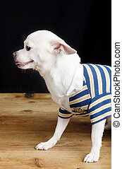 Male Chihuahua in Shirt - A male Chihuahua posing for the...