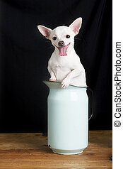 Chihuahua Smile - A male Chihuahua in a retro pitcher