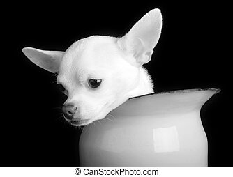 Black and White Sorrow - A small chihuahua showing sorrow in...
