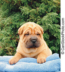 Sharpei - Two months old pure breed shar pei puppy on a blue...