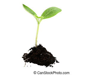 New Life - Baby plant in soil on white background