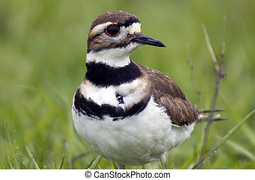 Killdeer in the rain with droplets of water beaded up on...