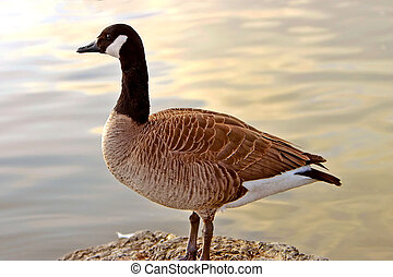 Canadian Goose with Sunset Reflections - Canadian Goose...
