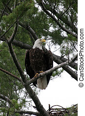 Bald Eagle in Pine Tree - Adult Bald Eagle perched on a pine...