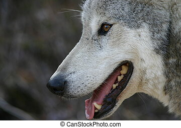 Smiling Grey Wolf - A happy Canadian grey wolf
