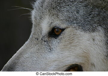 Wolf Eye - Up close and personal with a Canadian grey wolf