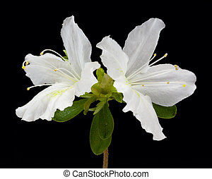 Azalea Flowers - Azalea flowers on black background