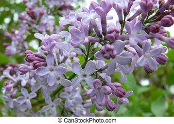 Lilacs - Beautiful lilac closeup.