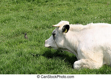 Cow and bird