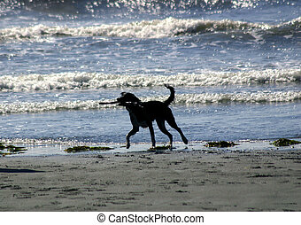 Dog on Beach - Dog retrieving a large piece of driftwood on...