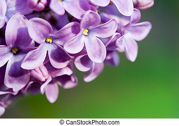 Lilac on green