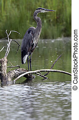 Great Blue Heron on Log - Great Blue Heron Perched on Log