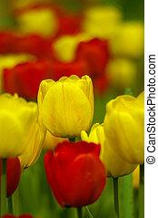 tulips, jardim