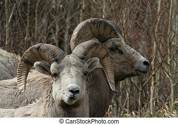 Long Horn Sheep - Long horn sheep