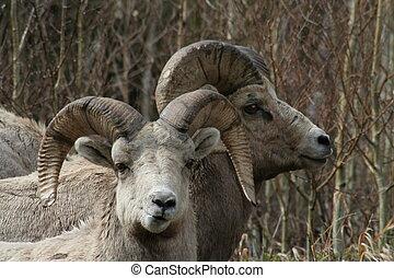 longo, chifre, Sheep
