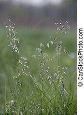 Sweet Grass in Flower - Hierochloe odorata a vanilla scented...