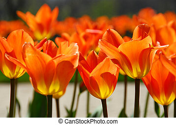Tulips - Orange backlit tulips