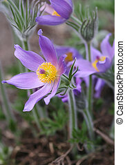Pasque flowers in spring