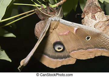 Drying Wings - Polyphemus Moth antheraea polyphemus hanging...