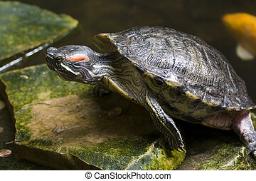 Red Eared Slider - a turtle native to north america
