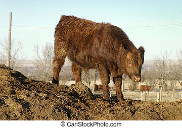 Bull Calf - A young bull calf on the top of a hill