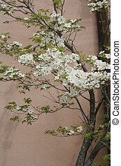 Dogwood Tree - A Flowering Tree near the Wall of a Building...