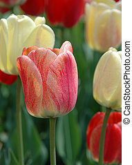 Variegated tulip - Red, peach and orange tulip on display...