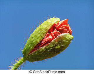 Poppy bud with stalk against blue sky