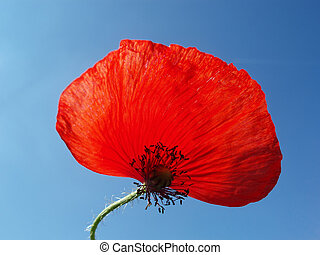 Red poppy with stalk against blue sky