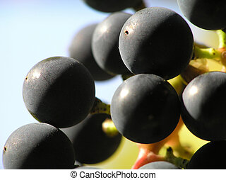 black grapes - Close-up of bunch of small black grapes...