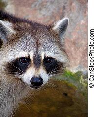 Raccoon - Interested, Curious Raccoon