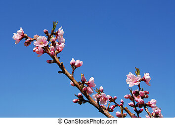 Peach blossom - Blooming peach tree branch