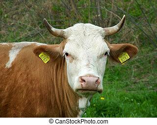 krowa, patrzeć