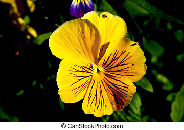 Yellow Pansy - Yellow pansy in shady part of the garden