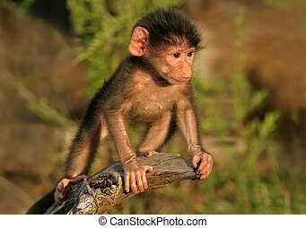 Baby Chacma Baboon - A baby Chacma baboon playing, South...