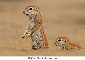 Ground squirrels - Two ground squirrels, South Africa