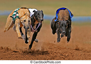 Sprinting greyhounds - Greyhounds at full speed during a...