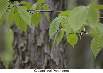 Shagbark Hickory - shagbark Hickory bark and leaves Carya...