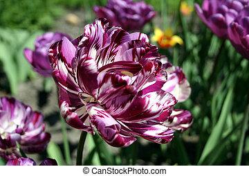 perroquet, tulipe