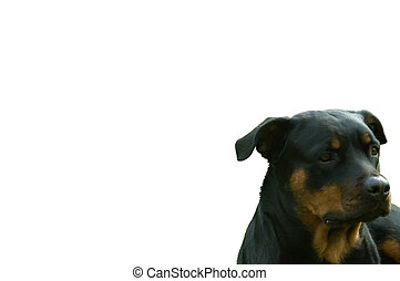 guard dog with isolated white background
